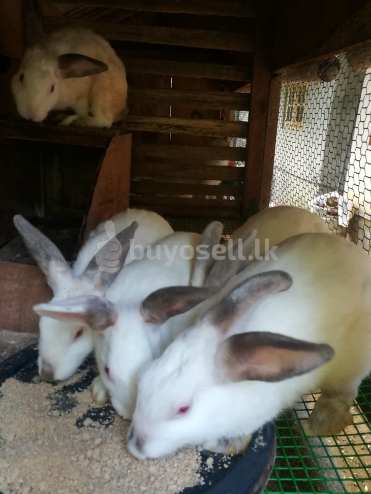 New Zealand ඇස් රතු හා පැටව් for sale in Galle