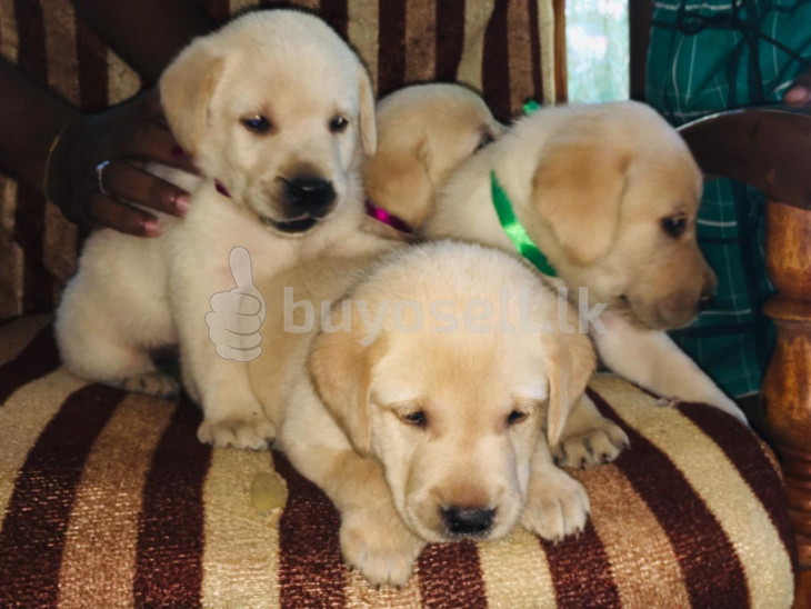 Labrador Retriever Puppies for sale in Colombo
