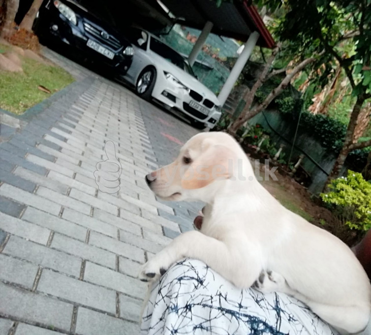 Labrador Puppy for sale in Kandy