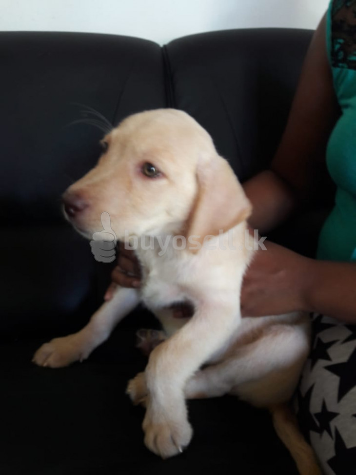 Labrador puppy for sale in Gampaha